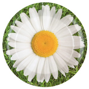 "Assiettes ""Marguerite"" (lot de 10)"